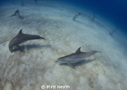 A group of about 20 bottlenosed dolphins crater feeding. by Matt Heath